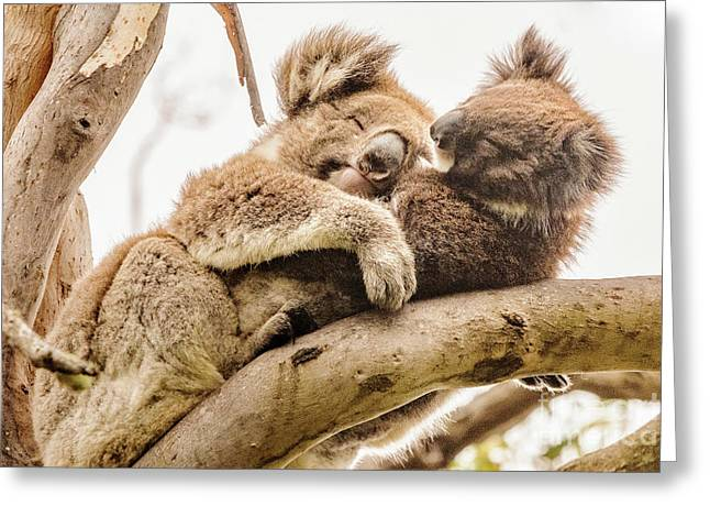 Koala 5 Greeting Card by Werner Padarin