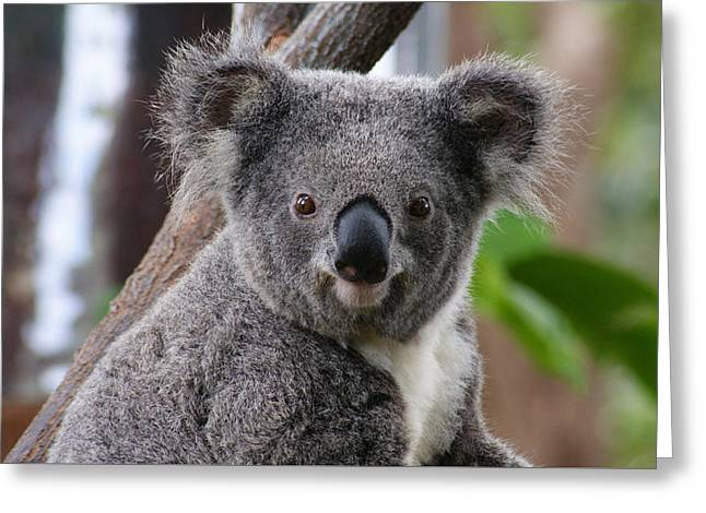 Koala Bear 7 Greeting Card by Gary Crockett
