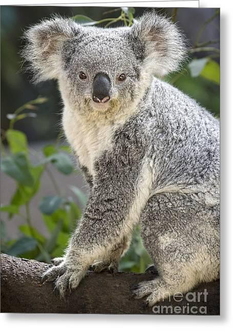 Koala Female Portrait Greeting Card