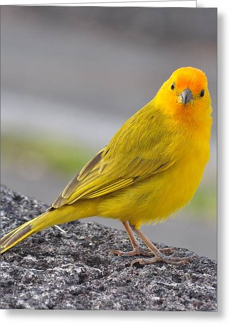 Kona Saffron Finch Greeting Card by Danielle Del Prado