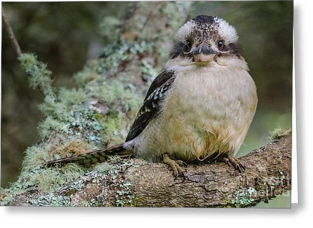 Kookaburra 3 Greeting Card