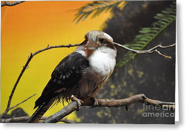 Greeting Card featuring the photograph Kookaburra by John Black