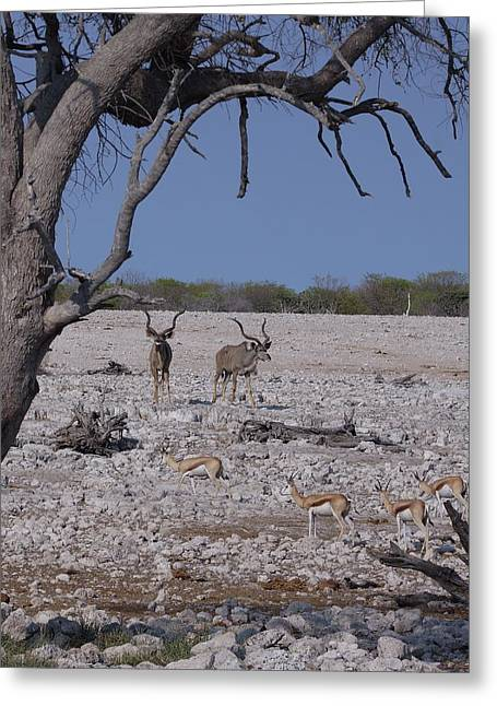 Greeting Card featuring the photograph Kudu And Springbok 2 by Ernie Echols