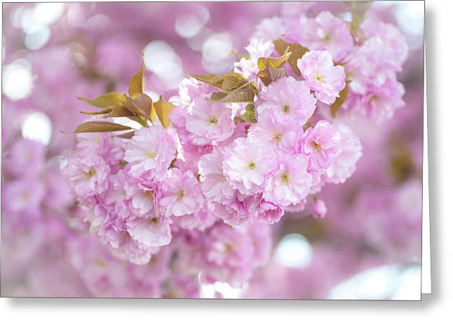 Kwanzan Cherry Branch Greeting Card by Jenny Rainbow