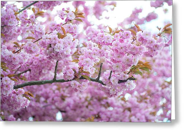Kwanzan Cherry In Spring Full Bloom Greeting Card by Jenny Rainbow