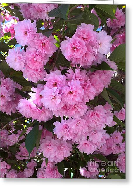 Kwanzan Cherry Tree Blossoms Greeting Card by Carol Groenen