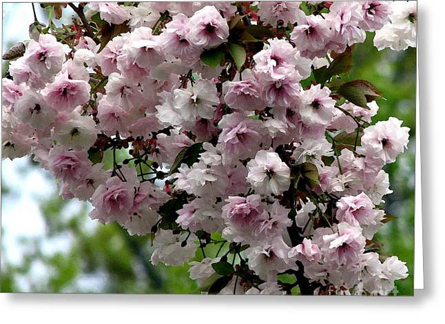 Japanese Cherry Tree Blossoms Highland Park Rochester Ny Watercolor Effect Greeting Card