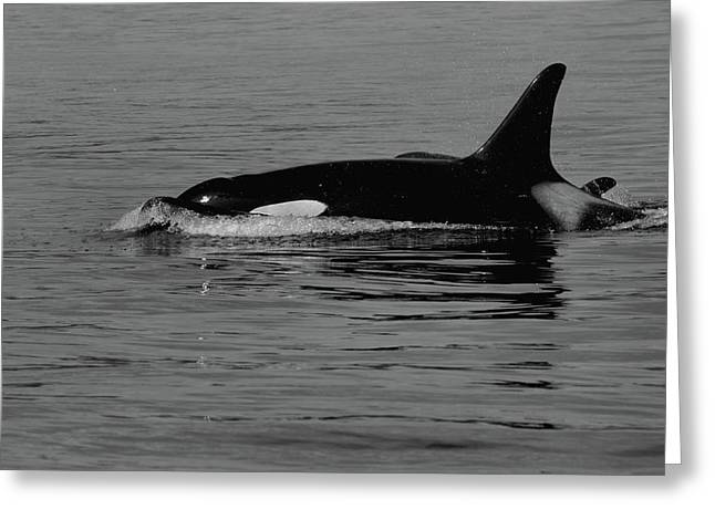 L Pod Orca Whales Black And White Greeting Card by Dan Sproul