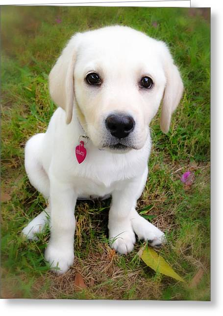 Greeting Card featuring the photograph Lab Puppy by Stephen Anderson