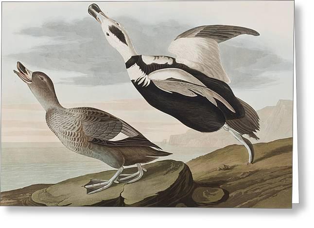 Labrador Ducks Greeting Card by John James Audubon