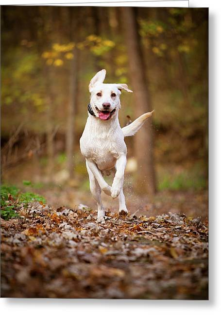 Greeting Card featuring the photograph Labrador Frolics In Woodlands by Jane Melgaard