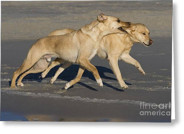 Labradors Playing Greeting Card