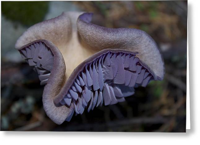 Laccaria Amethystina Greeting Card by Tracey Levine
