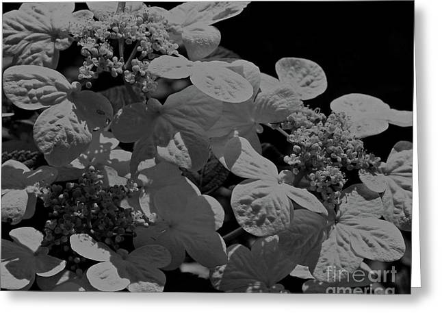 Lace Cap Hydrangea In Black And White Greeting Card by Smilin Eyes  Treasures