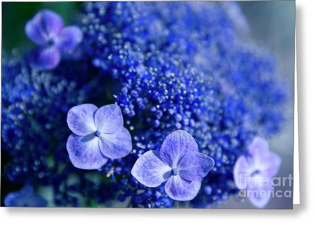 Lacecap Hydrangea Macrophylla Serrata Blue Greeting Card by Sharon Mau