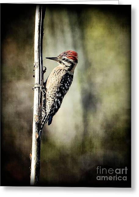Ladder-back Woodpecker  Greeting Card by Saija  Lehtonen