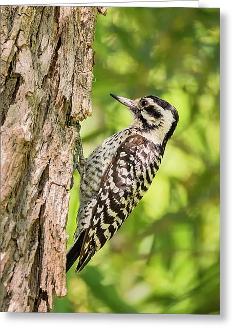 Ladder Backed Woodpecker Greeting Card by Loree Johnson