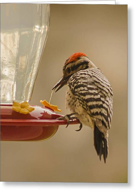 Ladderback Woodpecker 3 Greeting Card by Allen Sheffield