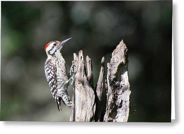 Ladderback Woodpecker Greeting Card by Peggy Blackwell