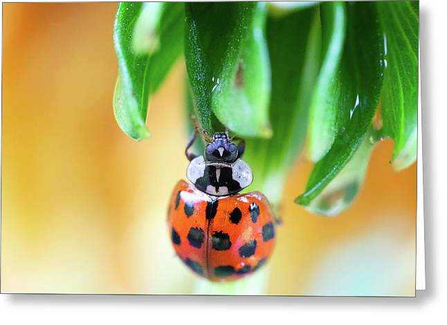 Greeting Card featuring the photograph Lady Bug In A Heatwave by Brian Hale