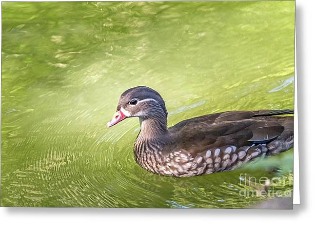 Lady Wood Duck Greeting Card by Kate Brown