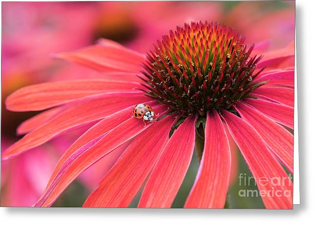 Ladybird And Echinacea Greeting Card