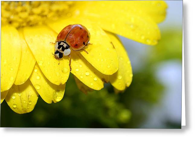 Ladybird Beetle A Ladybug Greeting Card by Laura Mountainspring