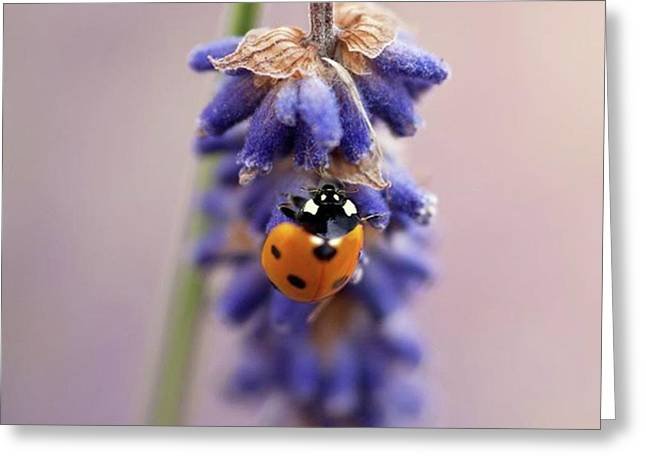Ladybird On Norfolk Lavender  #norfolk Greeting Card by John Edwards