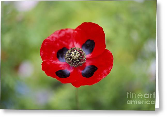 Ladybird Poppy Greeting Card by Tim Gainey