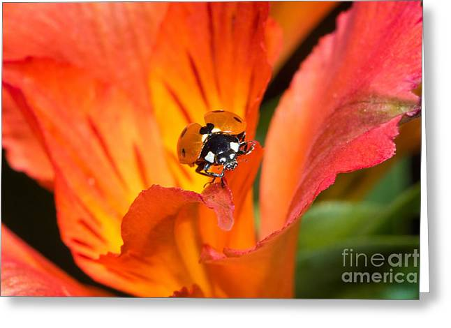 Ladybug About To Fly Greeting Card by Mimi Ditchie