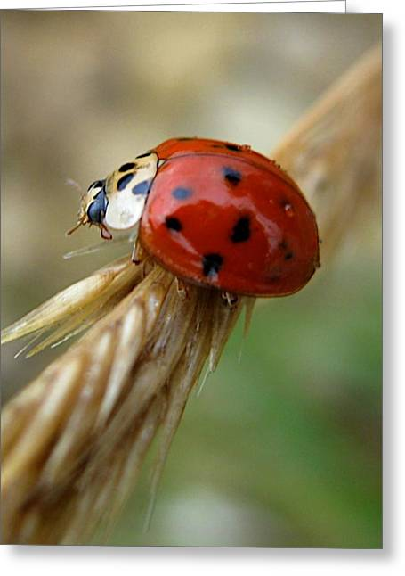 Ladybug I Greeting Card by Michele Stoehr