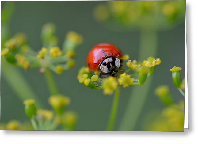 Ladybug In Red Greeting Card