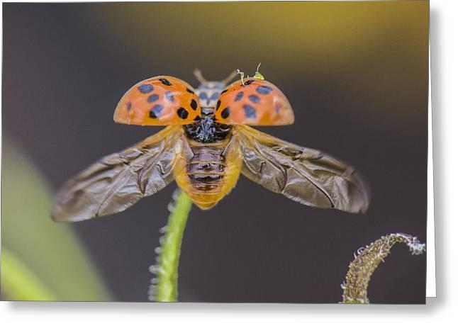 Ladybug Ladybug Fly Away Home Greeting Card by Joy McAdams