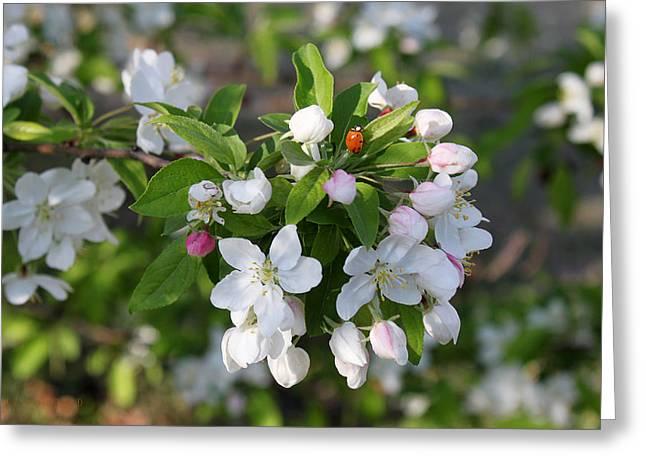 Ladybug On Cherry Blossoms Greeting Card