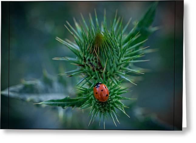 Ladybug On Thistle Greeting Card