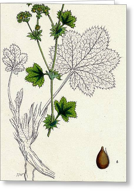 Lady's Mantle Greeting Card by Unknown