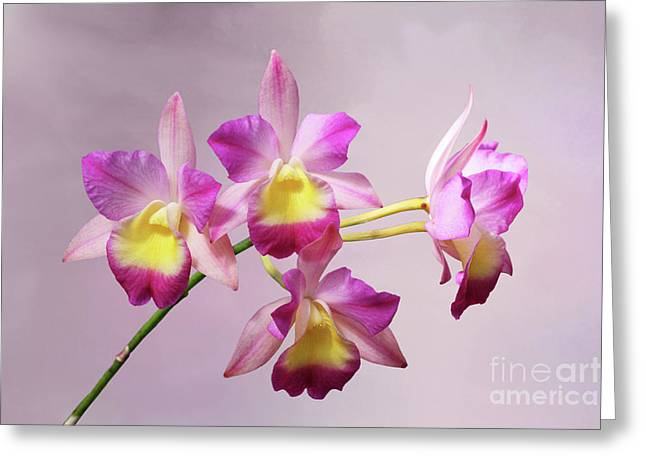 Laeliocatonia Hybrid Orchids V2 Greeting Card