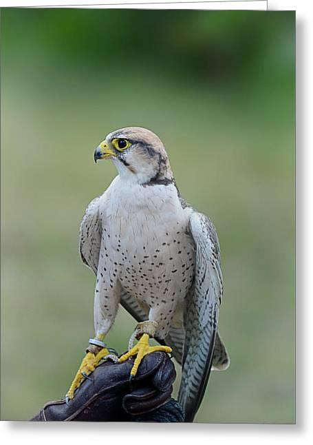 Laggar Falcon  Greeting Card