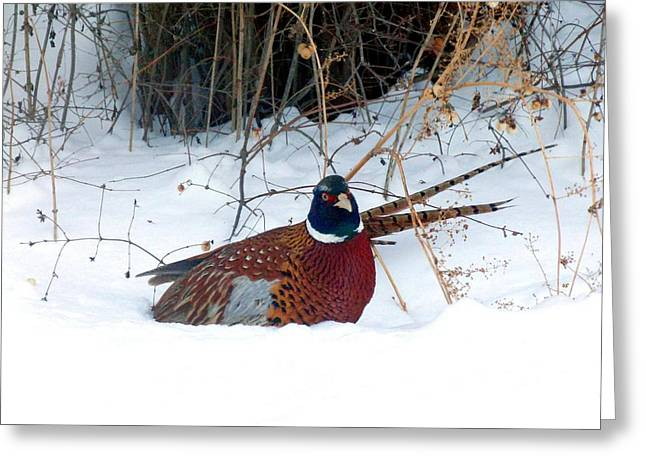 Greeting Card featuring the photograph Lake Country Pheasant 2 by Will Borden