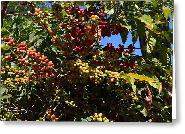 Lake Tana Coffee Beans Greeting Card by Aidan Moran
