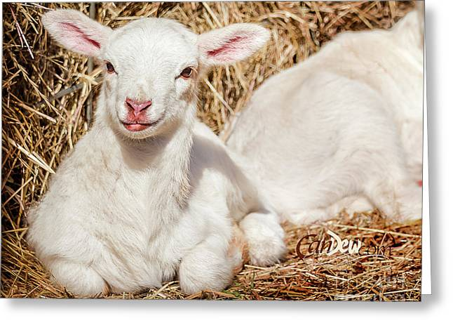 Lamb Chops Greeting Card