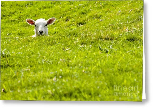 Lamb In A Dip Greeting Card by Meirion Matthias
