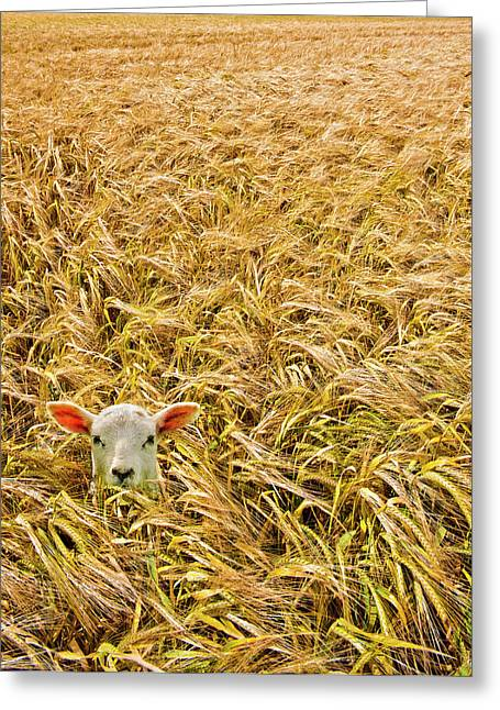Grained Greeting Cards - Lamb With Barley Greeting Card by Meirion Matthias