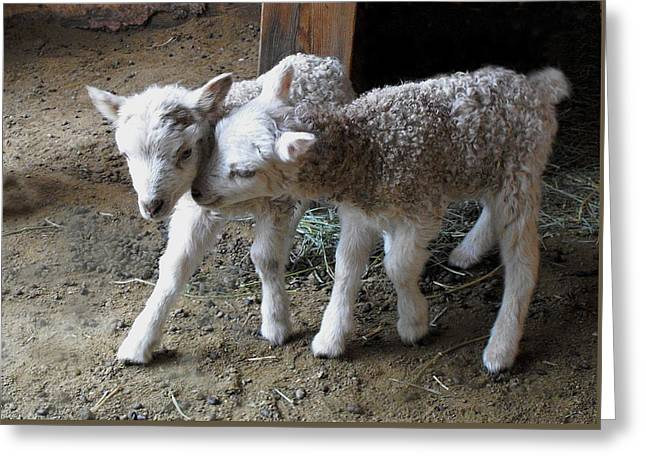 Lambs Greeting Card by Kae Cheatham