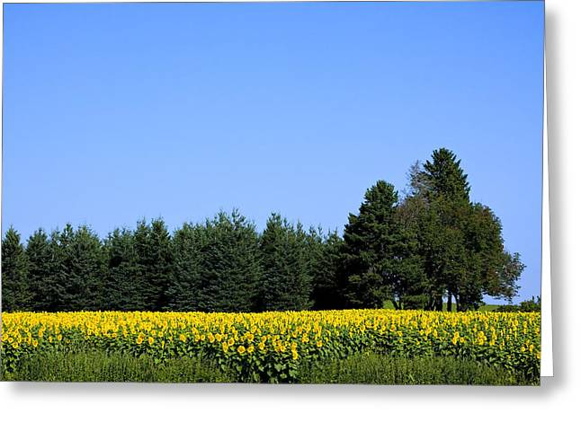 Land Of Sunflowers Greeting Card by Gary Smith