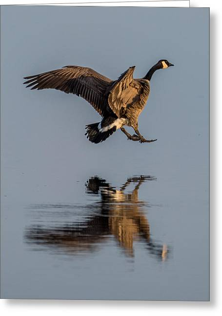 Landing Canadian Goose Greeting Card by Paul Freidlund