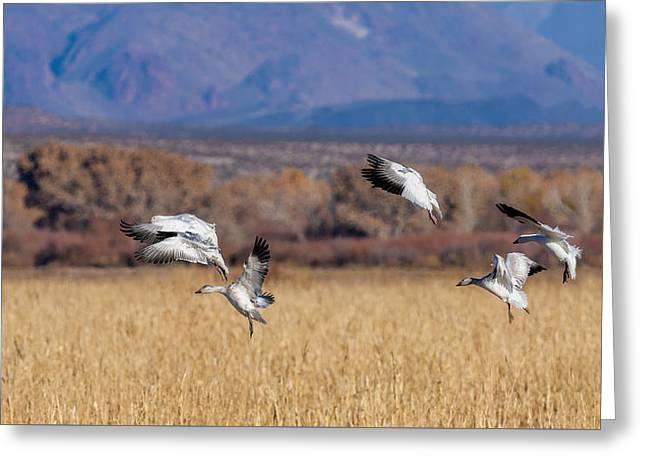 Landing Gears Down - Snow Geese Landing Greeting Card