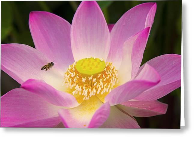 Landing On The Sweet Lotus Flower Greeting Card