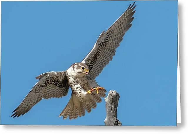 Landing Prairie Falcon Greeting Card