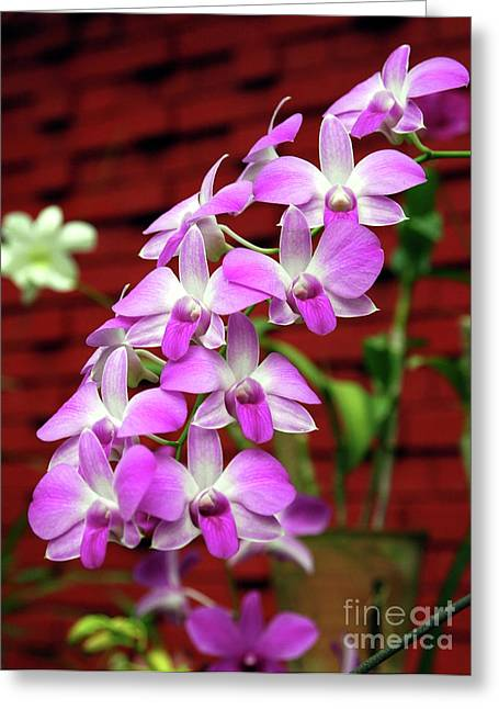 Lankan Orchids II Greeting Card by Stanislav Veselovskiy